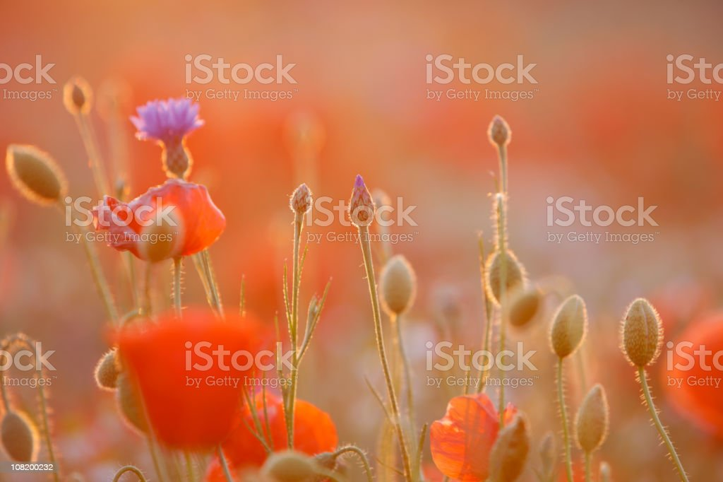 Poppy Field (against sunlight with flares) royalty-free stock photo
