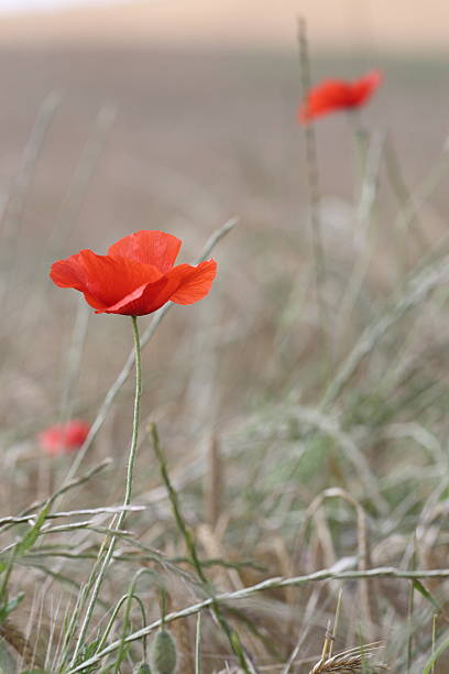 poppy field - memorial day weekend stock pictures, royalty-free photos & images