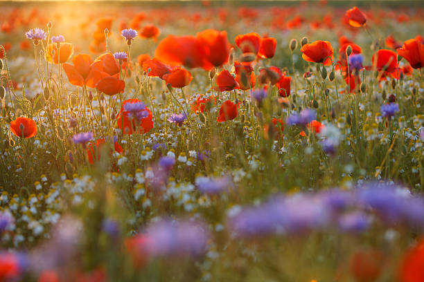 Poppy Field (against sunlight with flares) stock photo
