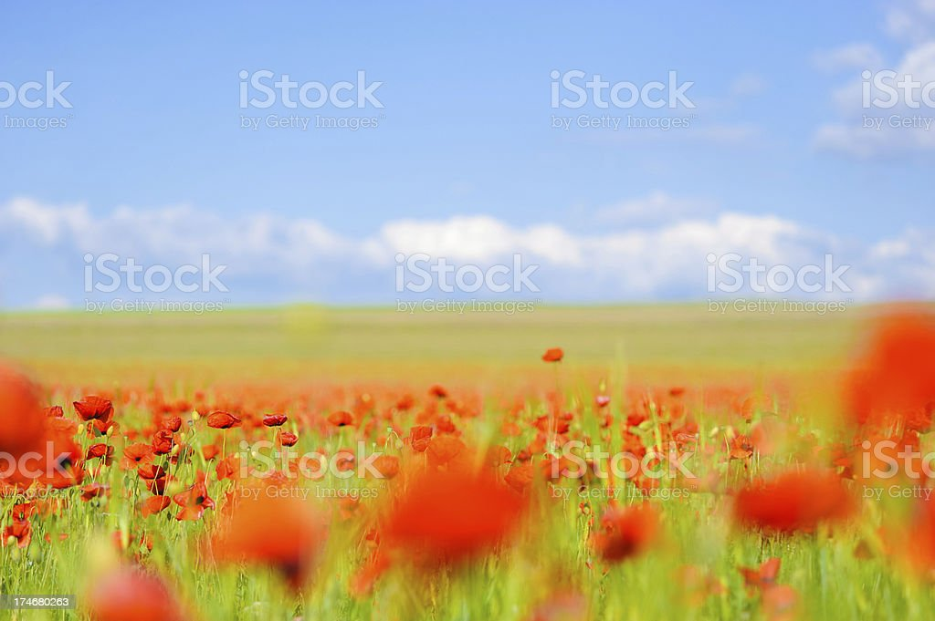 poppy field royalty-free stock photo