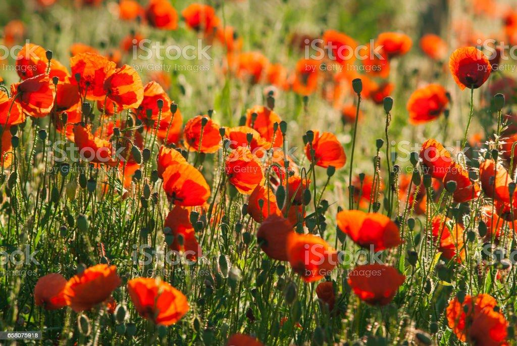 Poppy field royalty-free stock photo