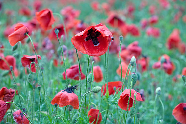 Royalty free heroin poppy poppy seed field pictures images and heroin poppy poppy seed field pictures images and stock photos mightylinksfo Image collections