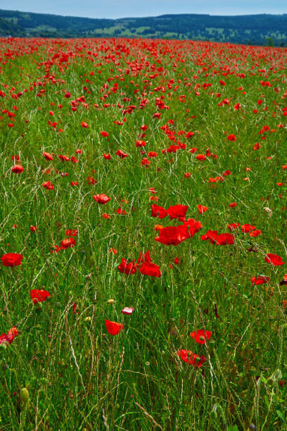 poppy field summer uk 20 - memorial day weekend stock pictures, royalty-free photos & images