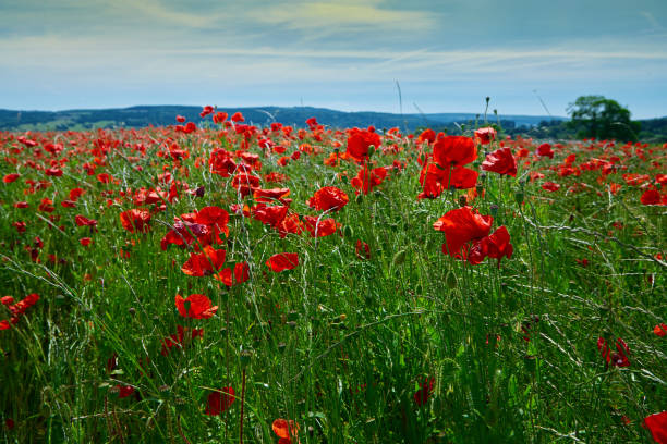 poppy field summer uk 22 - memorial day weekend stock pictures, royalty-free photos & images