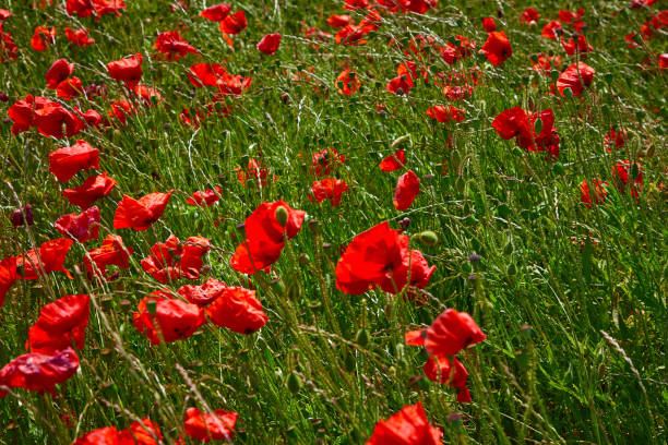 poppy field summer uk 23 - memorial day weekend stock pictures, royalty-free photos & images