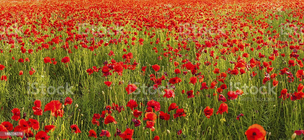 Poppy field tranquil summer meadow panorama royalty-free stock photo