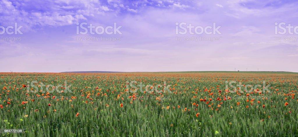 Poppy field under the purple sky. royalty-free stock photo