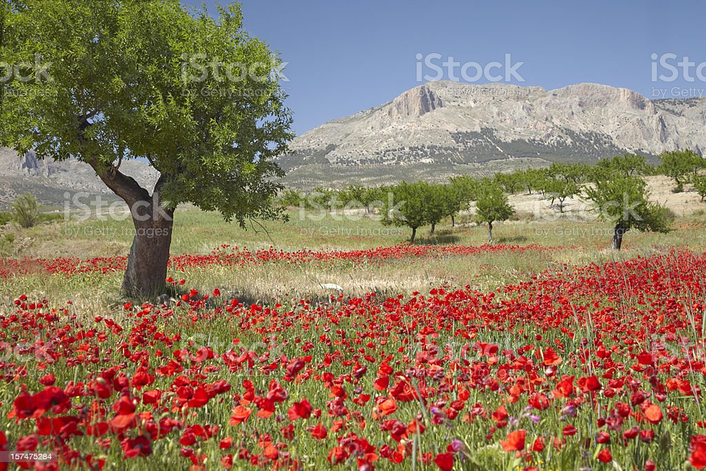 Poppy field with almond trees stock photo