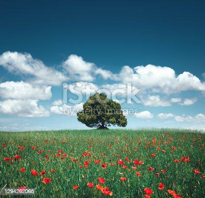 istock Poppy Field With Lone Tree 1294262065