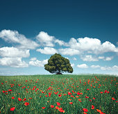 Beautiful lone tree in the middle of poppy field on a sunny summer day.