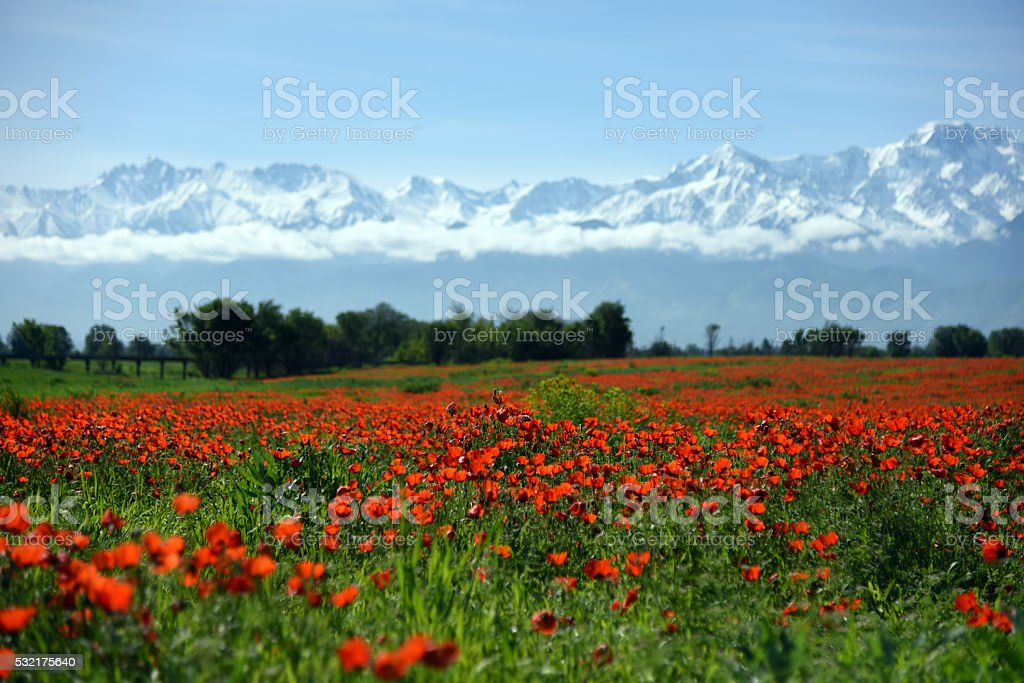 Poppy Field with Mountains stock photo