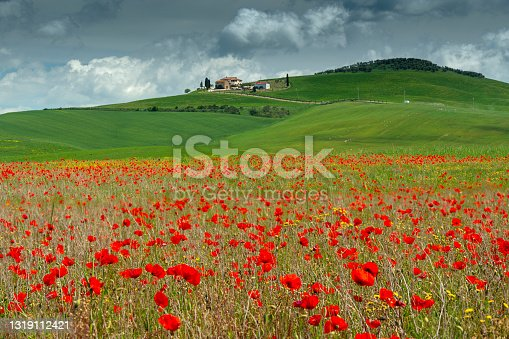 Poppy field with poggio tobruk on the background and cloudy sky - Tuscany - Italy