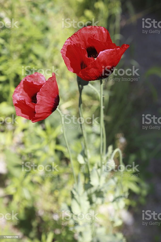 Poppy field with red flowers royalty-free stock photo