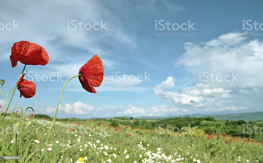 poppy filed stock photo