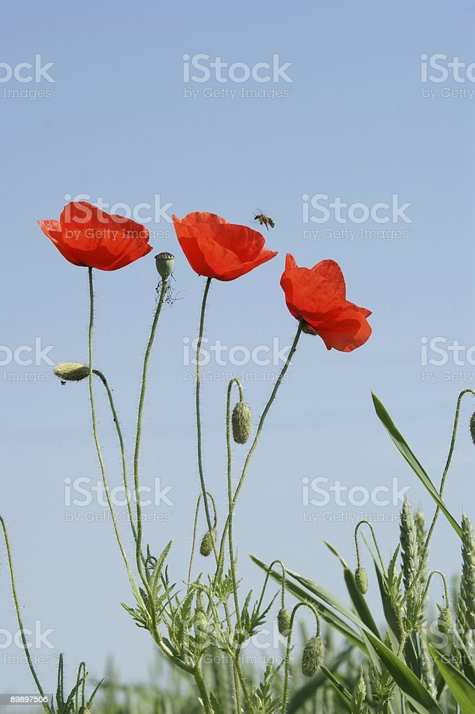 poppy flower and bee royalty-free stock photo