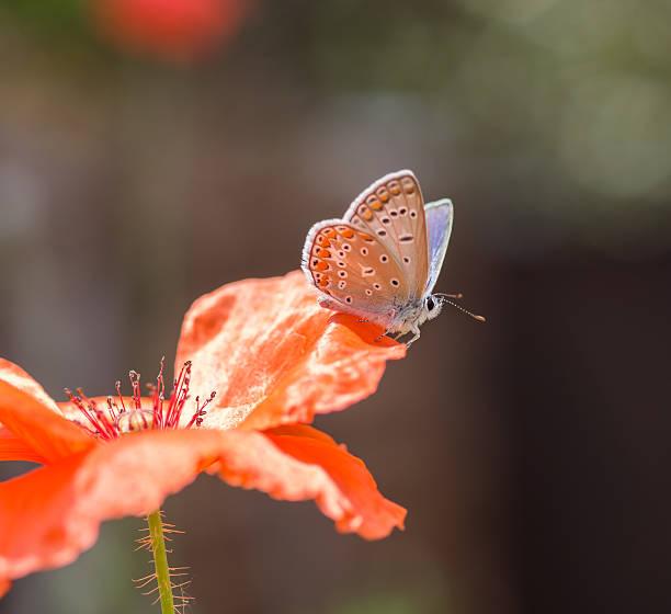 Poppy flower and butterfly closeup picture id546174886?b=1&k=6&m=546174886&s=612x612&w=0&h=no7 tm05apvfnpnpcc86fetvu0wdczsjouj2x9qucii=