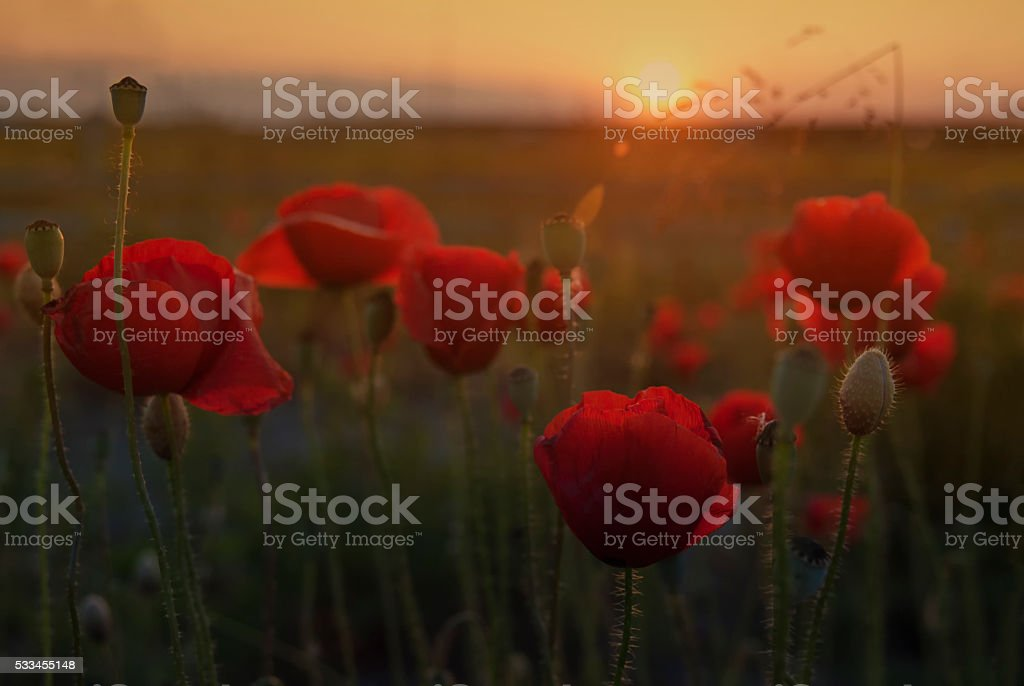 Poppy flower at sunset stock photo