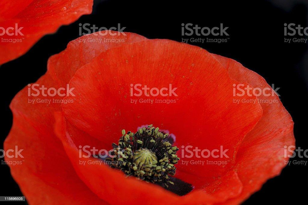 Poppy flower closeup royalty-free stock photo