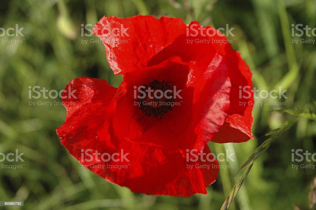 Poppy flower close-up royalty free stockfoto
