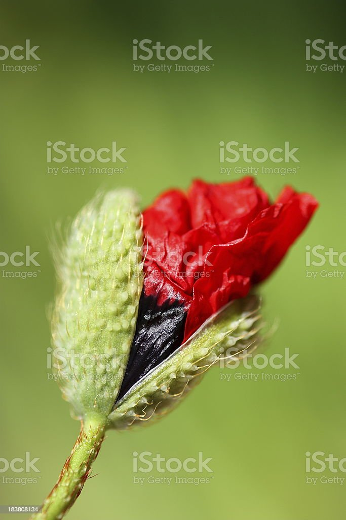 Poppy Flower Head Opening royalty-free stock photo