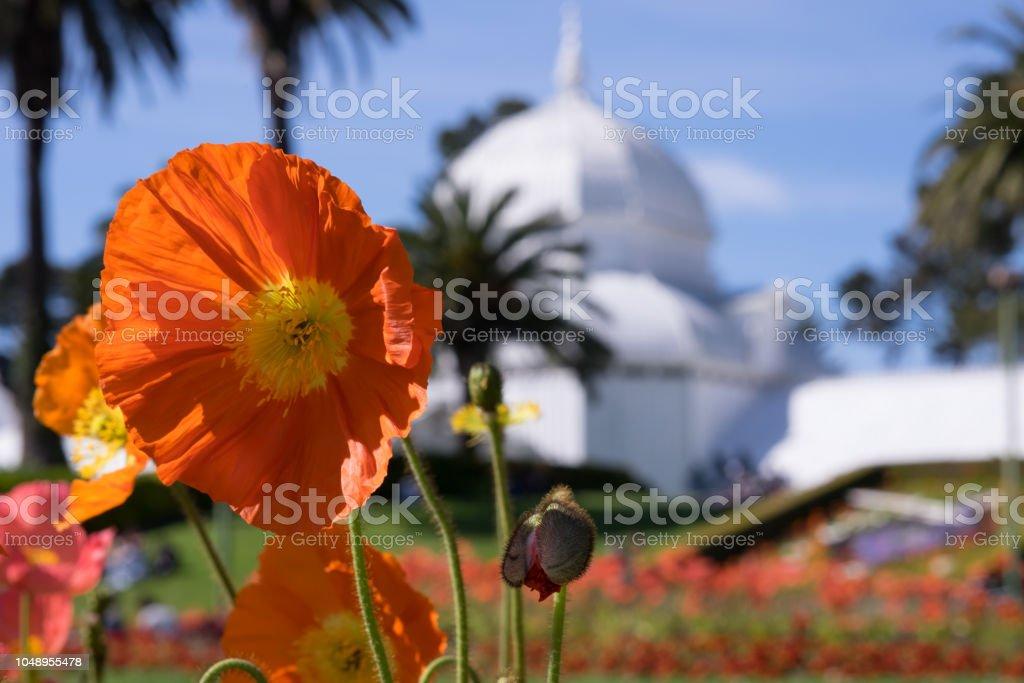 Poppy flower in full bloom outside of Conservatory of Flowers, San Francisco stock photo