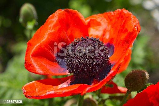 Poppy. Flower in the garden