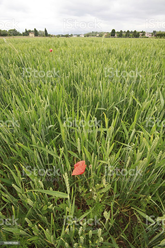 poppy flower in wheat field stock photo