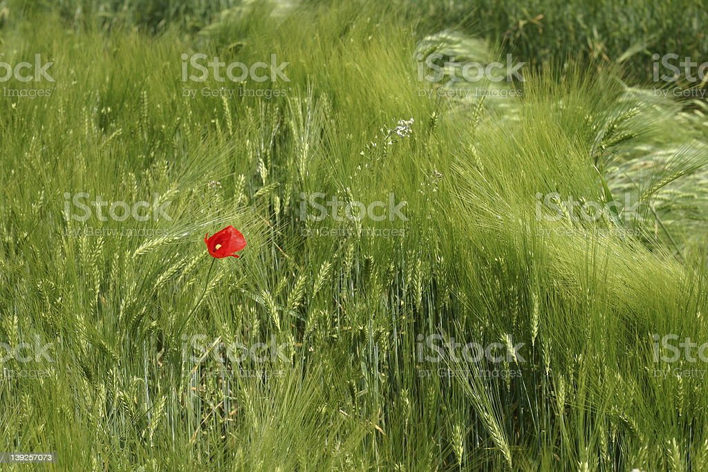 Poppy flower in young wheat royalty-free stock photo