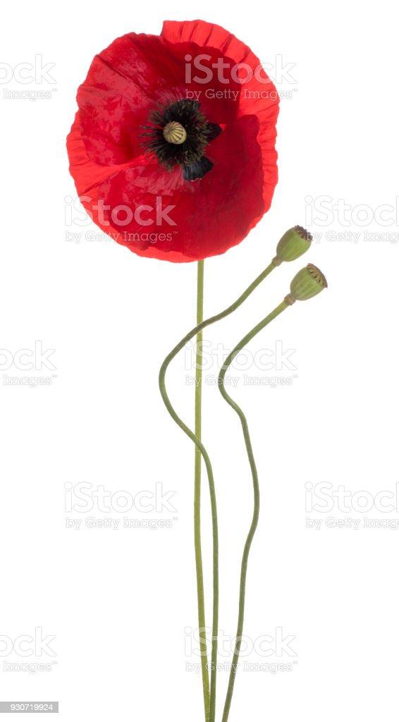 poppy flower isolated on white stock photo