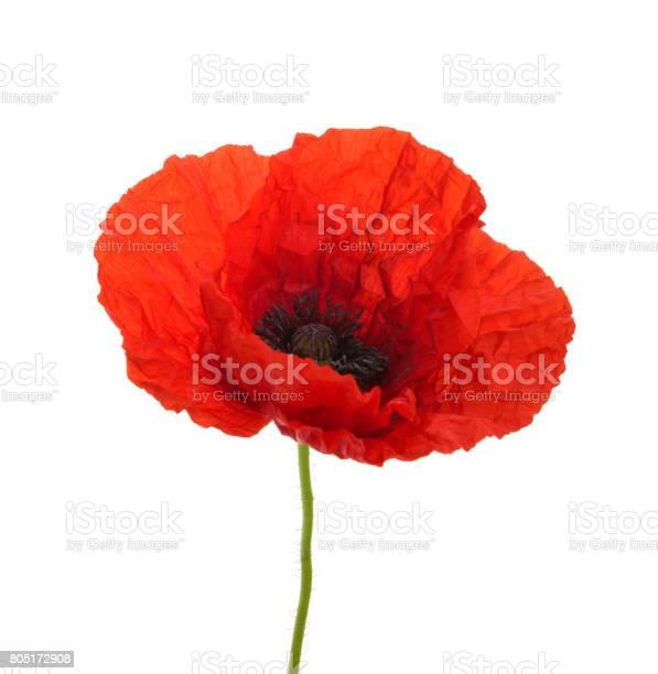 Poppy flower isolated without shadow picture id805172908?b=1&k=6&m=805172908&s=612x612&h=aniezh748cxrx2tavweg6 xlogbxirbuwe wpps4ywy=