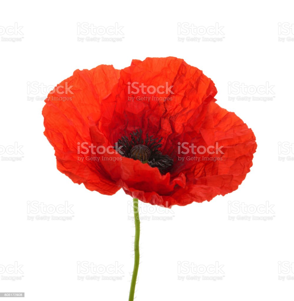 Poppy flower isolated without shadow stock photo