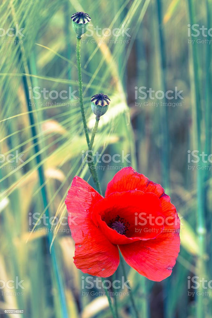 Poppy flower macro vintage optics stock photo