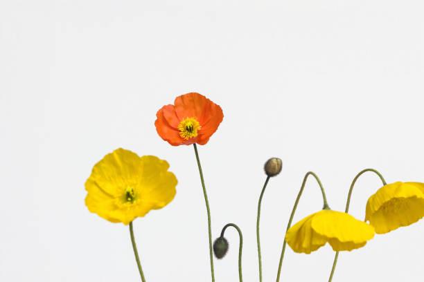 Mohnblume auf weißem Hintergrund – Foto