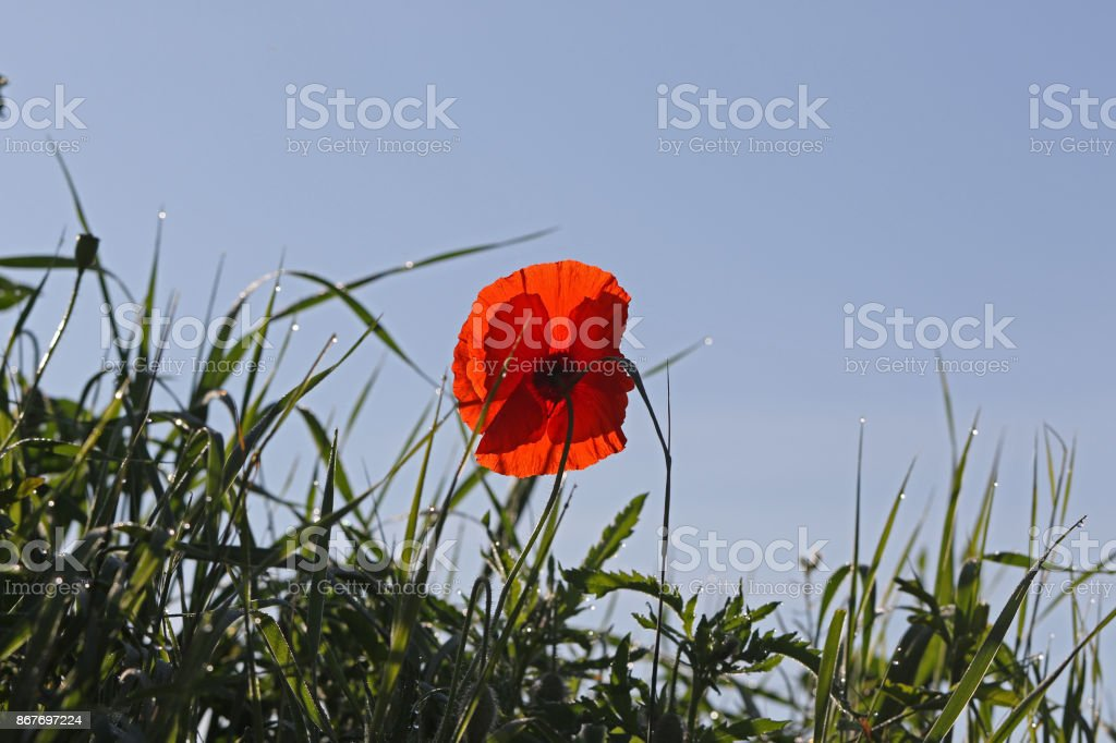 Poppy flower or papaver dubium with the light behind in Italy in Springtime remembrance flower first world war stock photo