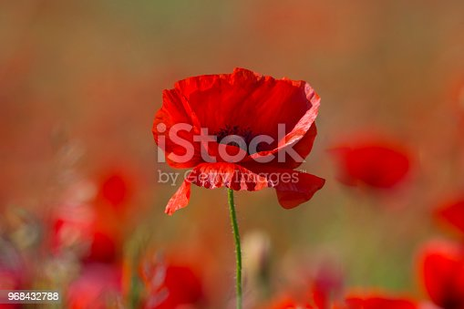 Poppy flower or papaver rhoeas poppy with the light