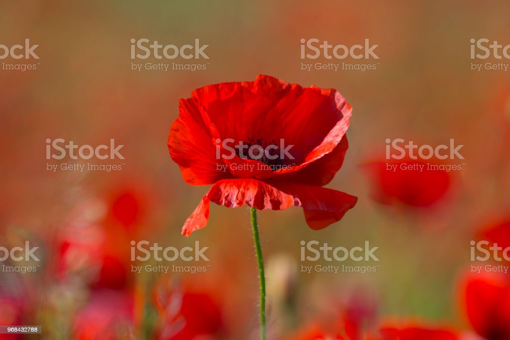 Poppy flower or papaver rhoeas poppy with the light stock photo