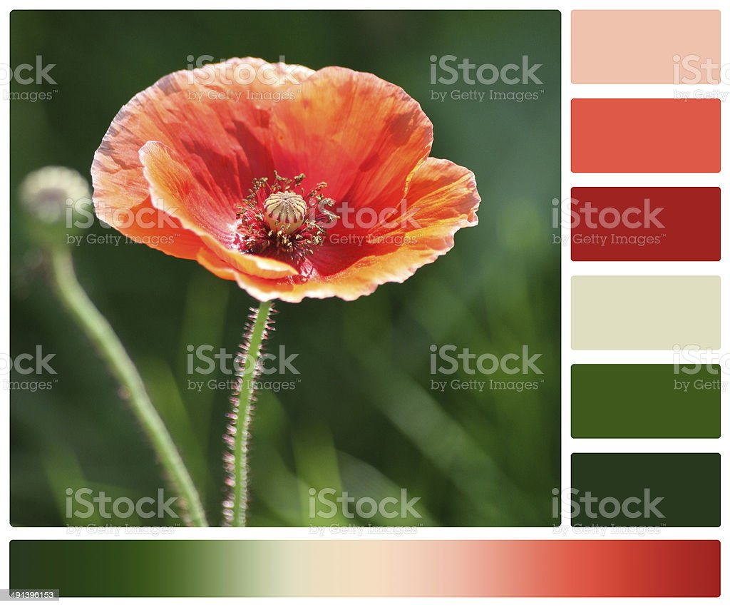 Poppy Flower. Palette With Complimentary Colour Swatches royalty-free stock photo
