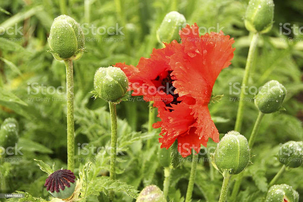 Poppy flower  'Papaver orientale ' royalty-free stock photo