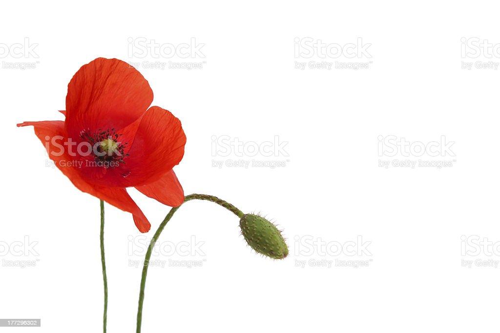 Mohn Blume – Foto