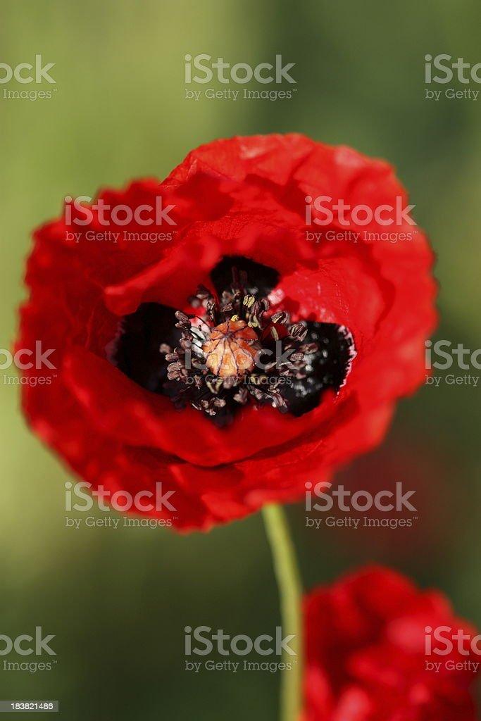 Poppy flower. royalty-free stock photo