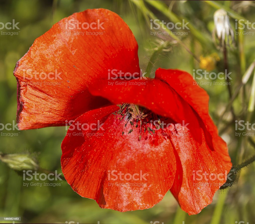 Fleur de coquelicot royalty-free stock photo