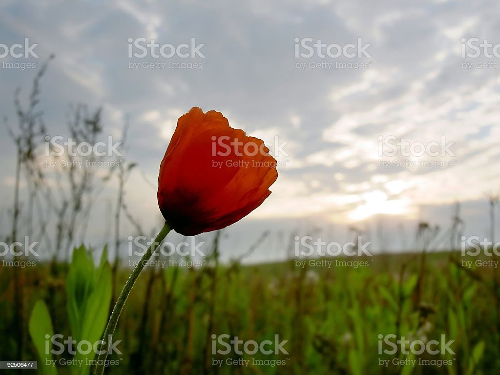 poppy flower royalty-free stock photo