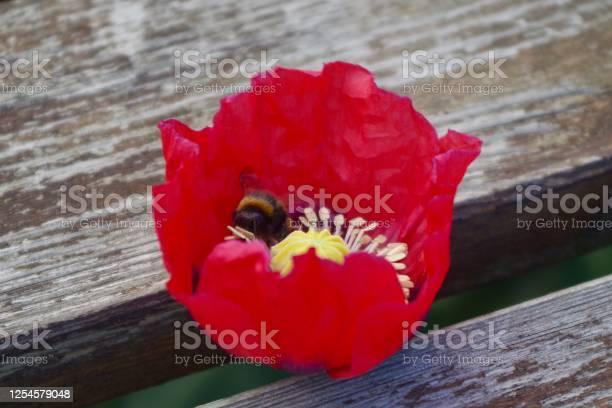 Poppy flower with bees feeding picture id1254579048?b=1&k=6&m=1254579048&s=612x612&h=iak636kcrokpx vbjix4h6shwujicenok5zldepzjrc=