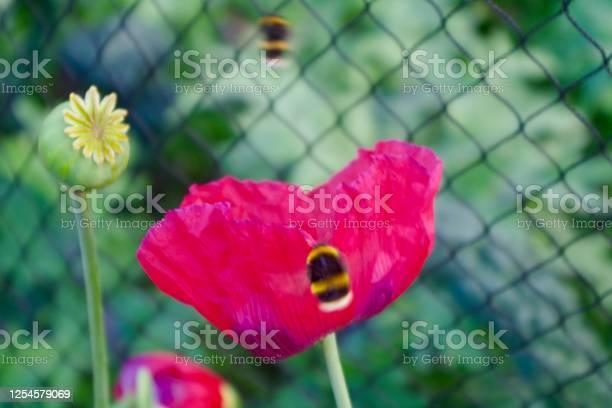 Poppy flower with bees feeding picture id1254579069?b=1&k=6&m=1254579069&s=612x612&h=bixhpu7r4cbnbr9ltqy0s4ywg4qa1cqrwumr8ydglx0=