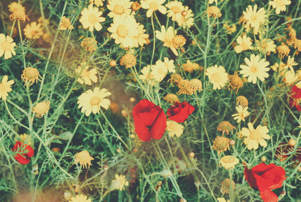 Poppy flower with daisies in a meadow. stock photo