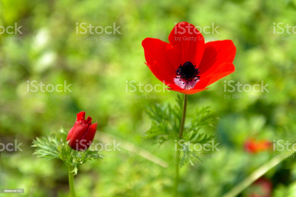 Poppy flower with green background stock photo