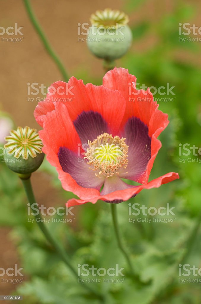 Poppy Flower with Pods royalty-free stock photo