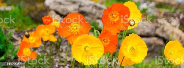 Poppy flowers background picture id1214429087?b=1&k=6&m=1214429087&s=612x612&h=stdf709ivkzwkl2sin2iauzunqnxrwhaldrupgbdskg=