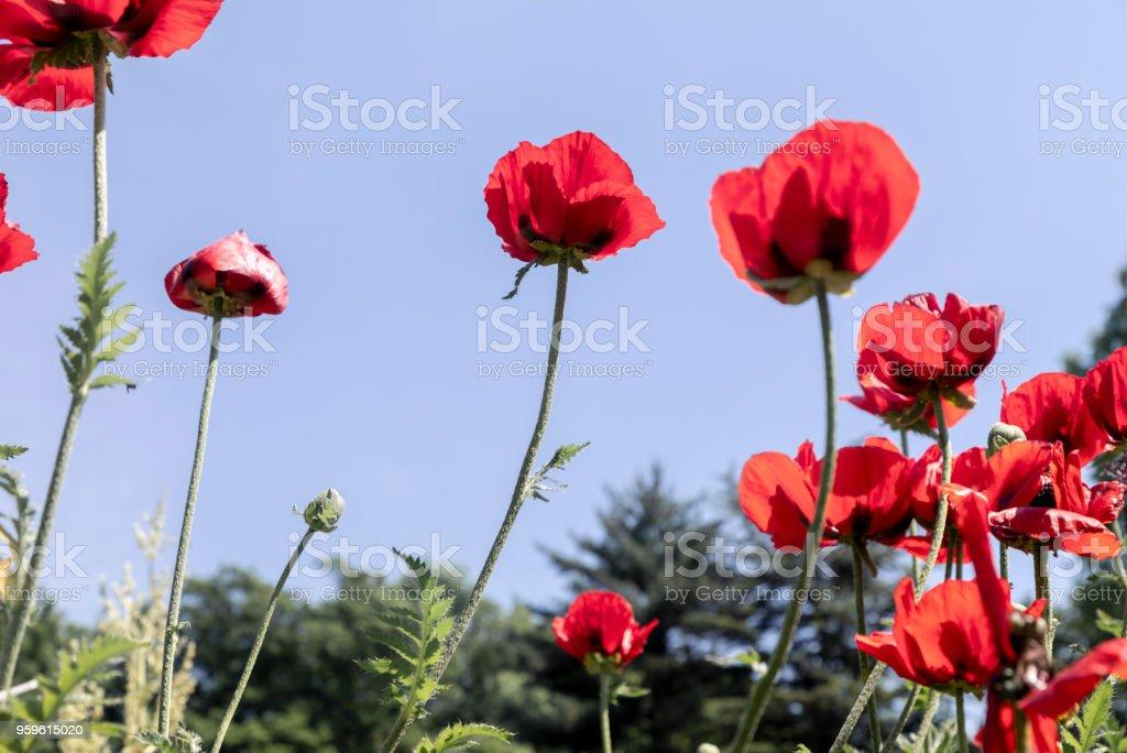 Flor flores de amapola - Foto de stock de Aire libre libre de derechos