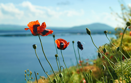 Poppy flowers growing on the lake shore